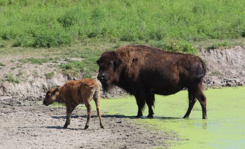 buffalo and calf in the pond at Eichten's