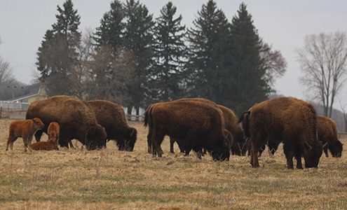 group of buffalo in front of pine trees at Eichten's